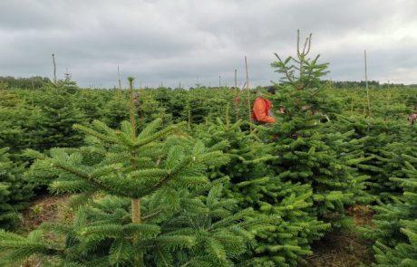 Mærkning juletræer