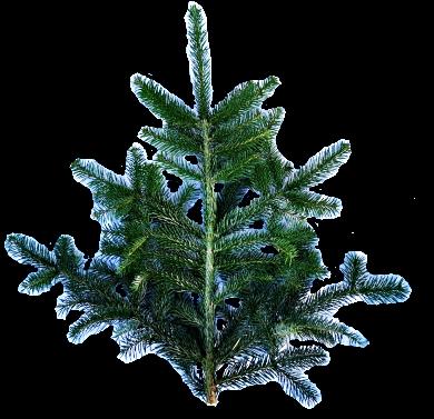 Pyntegrønt nordamnnsgran gren